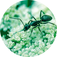 Ant Behavior and Trend Following